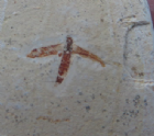 YOUNG MAYFLY - CRETACEOUS, BRAZIL
